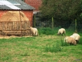 ANIMAL MOUTONS